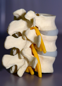 Side view model of human spinal vertebrae, disks, and spinal cord nerve.